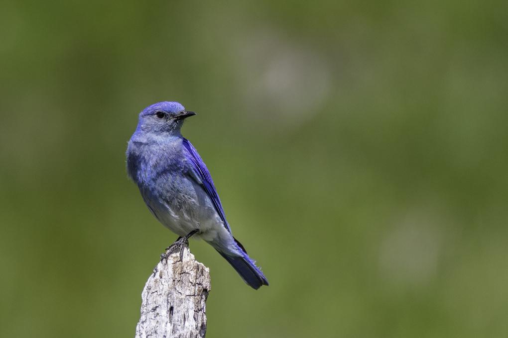 Mountain Bluebird by Randal Davis