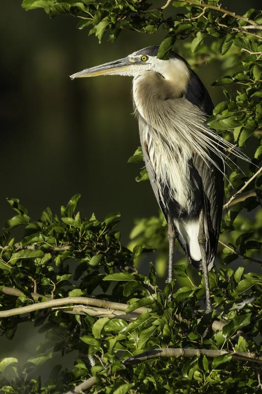 Great Blue Heron by Randal Davis