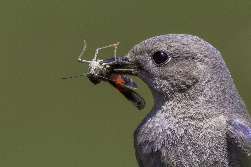 Female Mountain Bluebird by Randal Davis