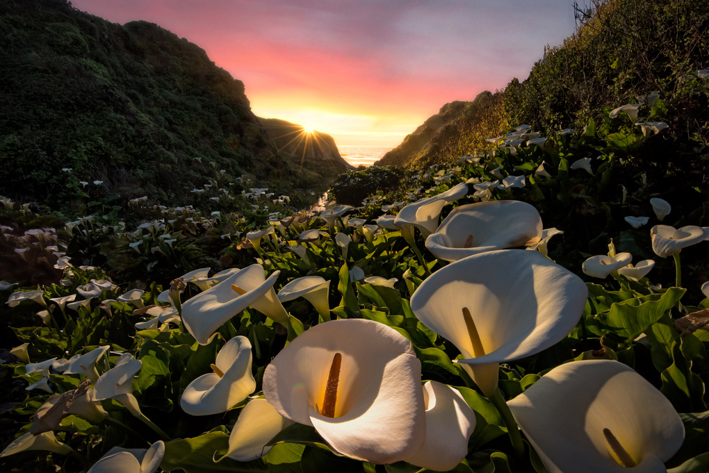 Calla Lily of the valley by Jamie MacIsaac