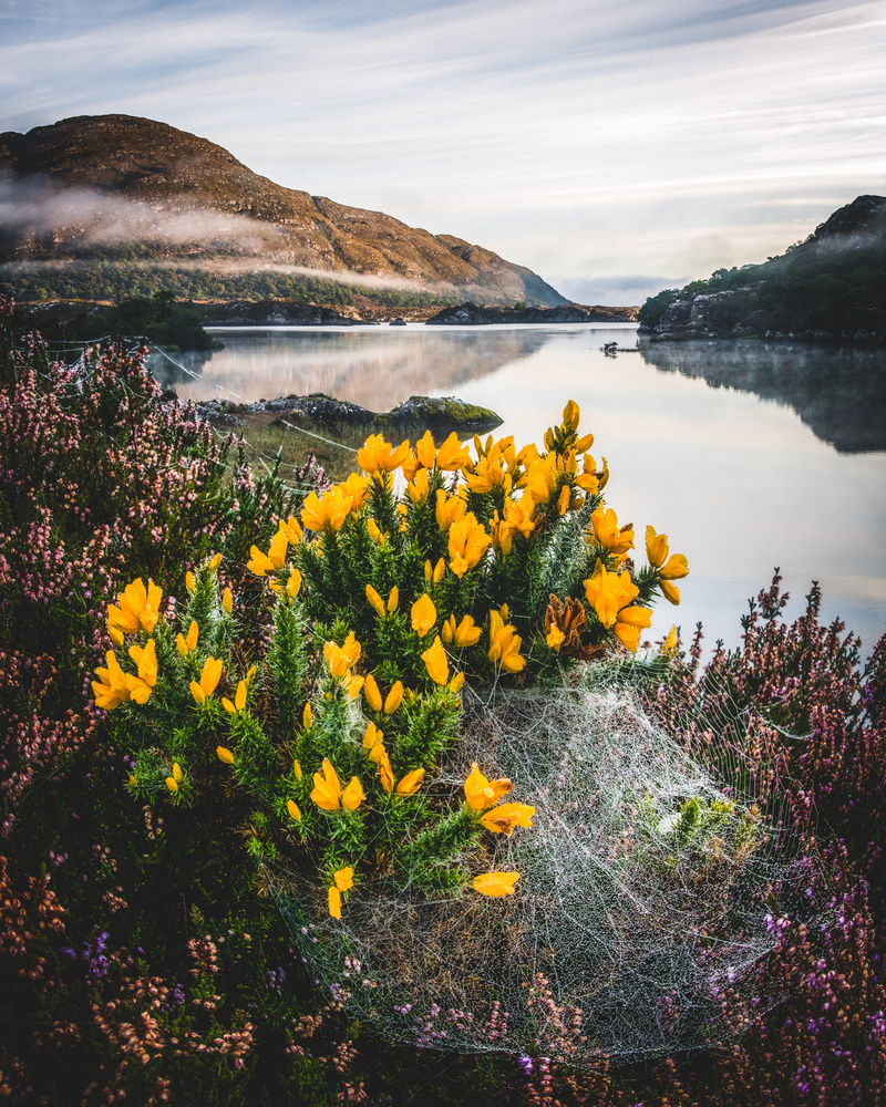 Dewy Gorse by Mike O'Leary