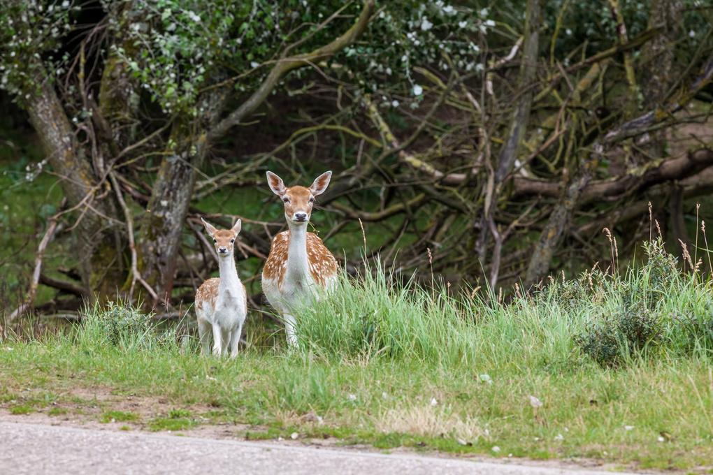 Fallow deer in nature by Marcel Derweduwen