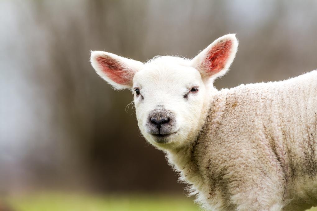 Lamb by Marcel Derweduwen