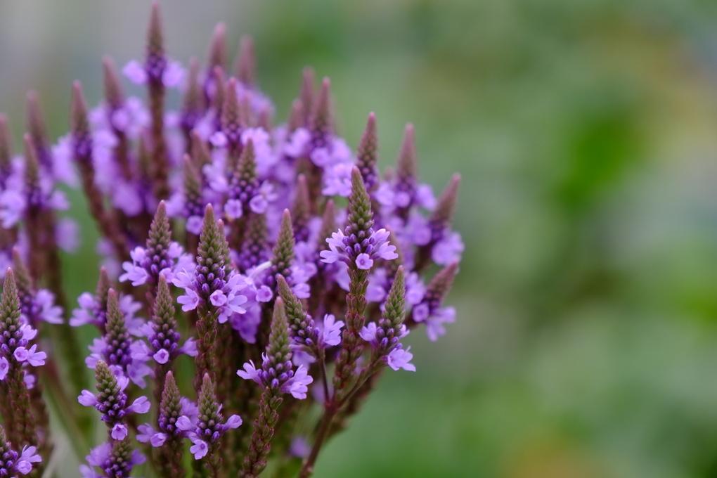 Purple wild flowers up close. by Brook Harris
