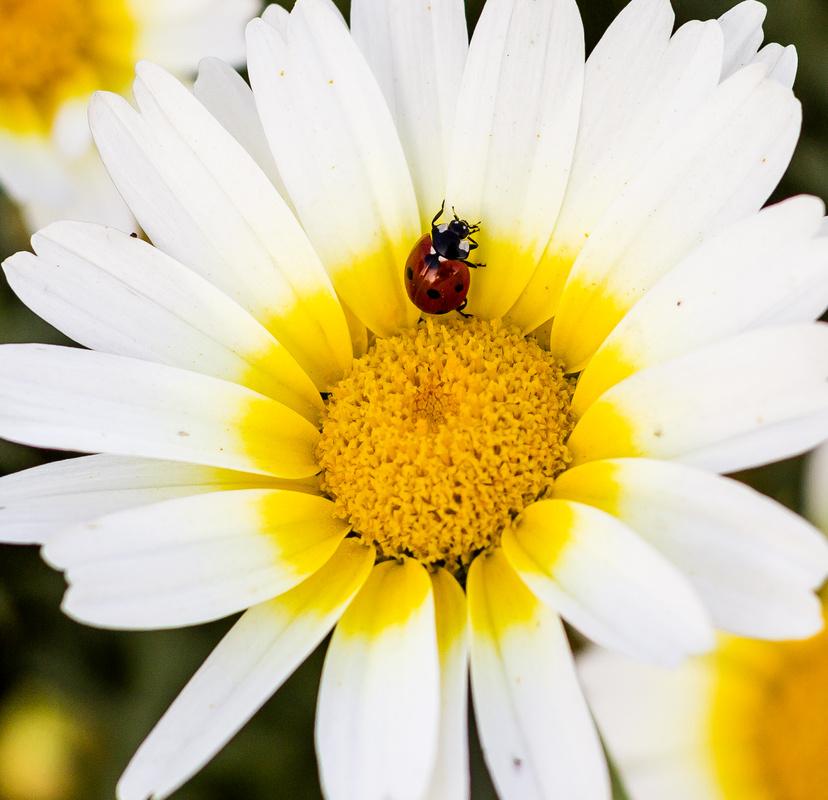 marguerite daisy by Manoj Pathak