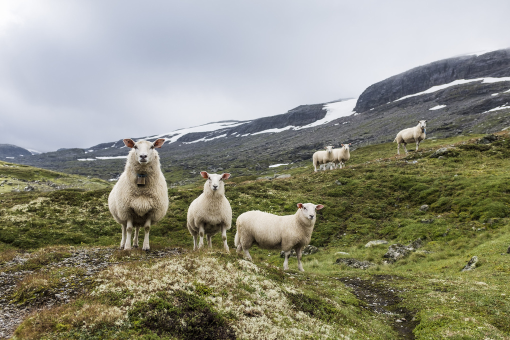 Sheeps of Norway by Hannes Pablitschko