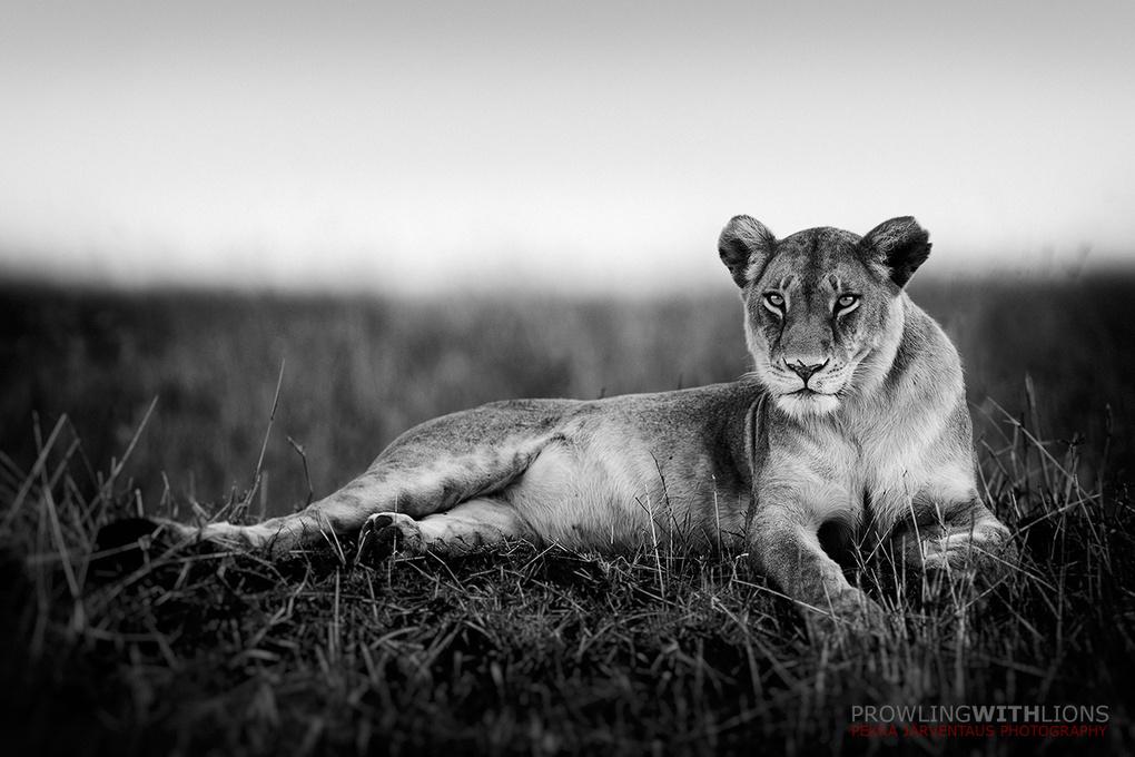 Lioness on termite mound, Masai Mara. by Pekka Järventaus