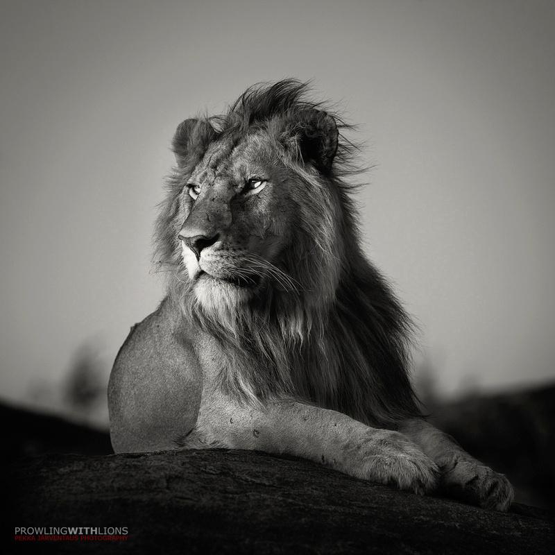 Nomad Lion by Pekka Järventaus
