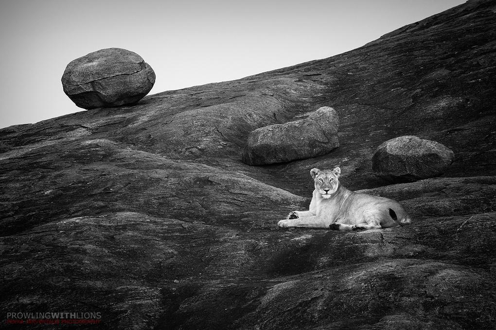 Lioness on the rocks, Serengeti by Pekka Järventaus