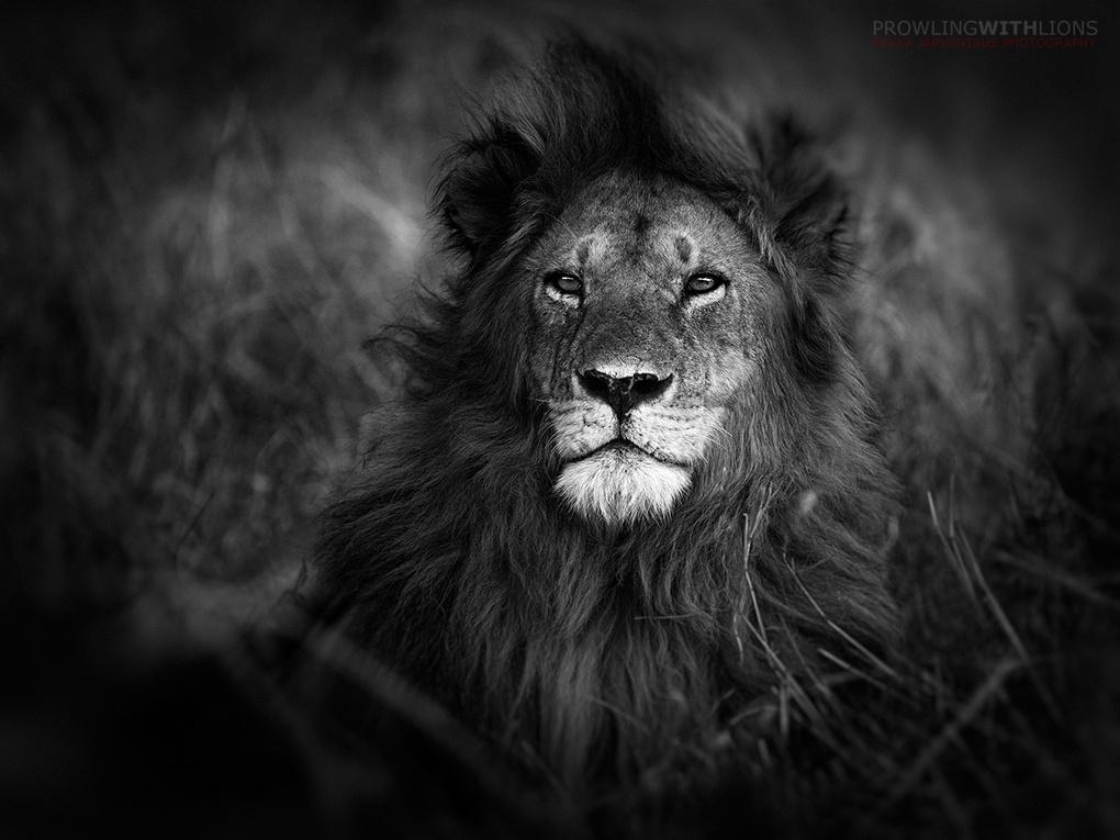 Sandriver lion, Masai Mara by Pekka Järventaus