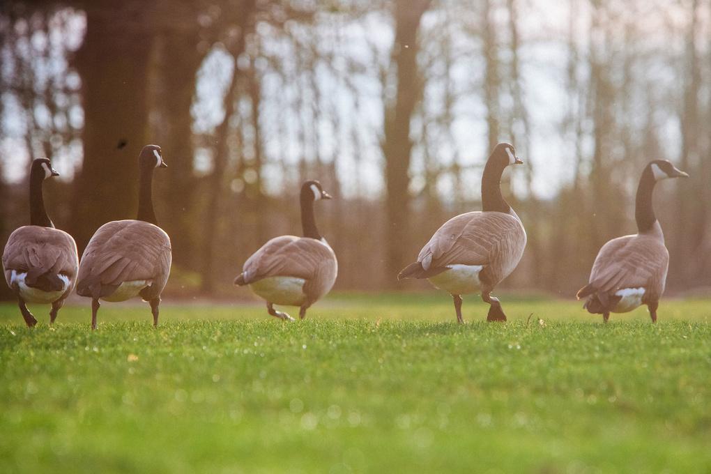 Geese by Jordan Dueck