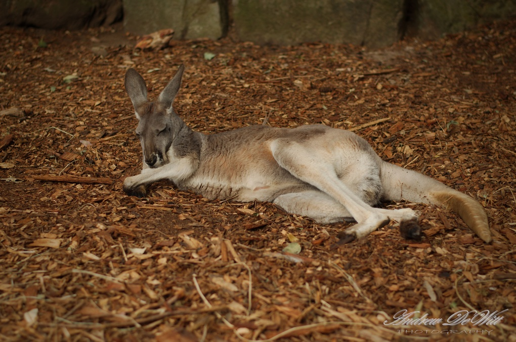 Lazy roo by Andrew DeWitt