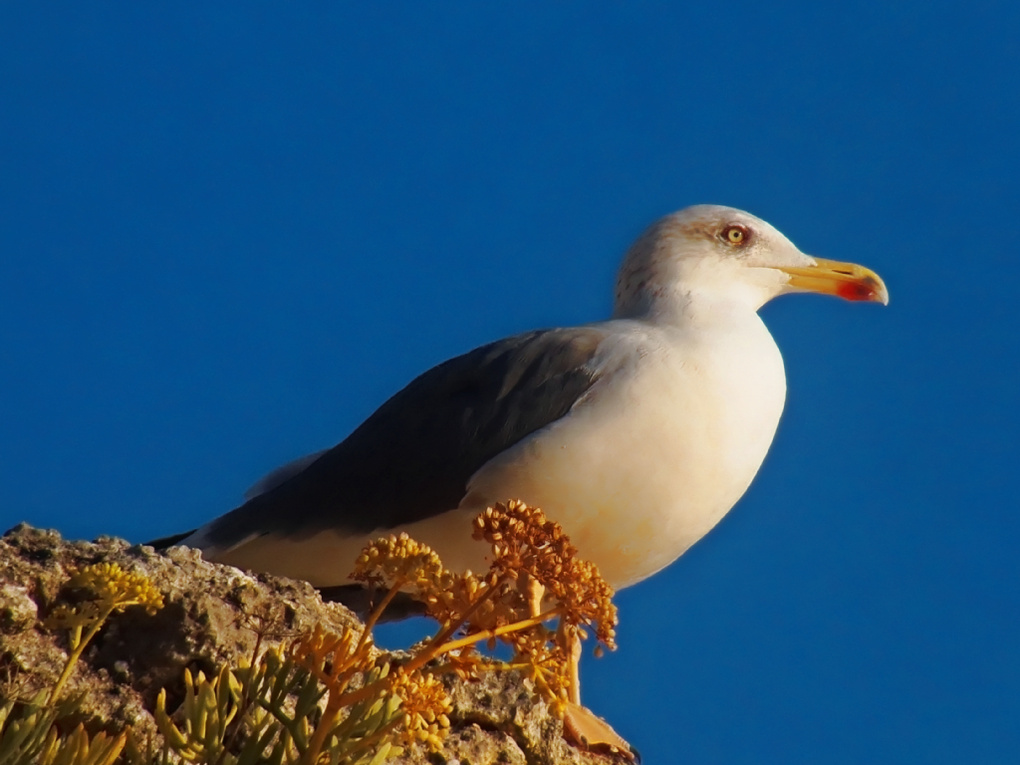 Seagull in blue by Carl Figenschou