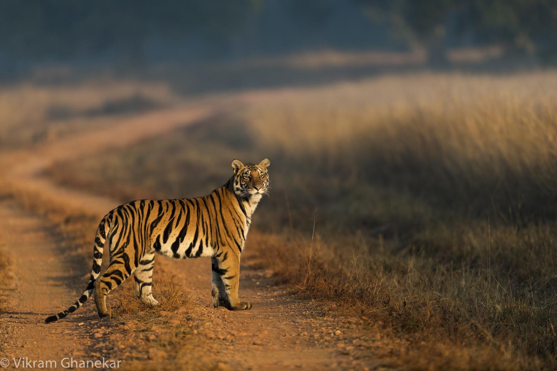 Tigress by Vikram Ghanekar