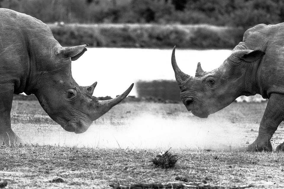 African Rhinos by Michael DeStefano