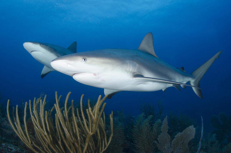 Reef sharks by Anna Pyhäjärvi