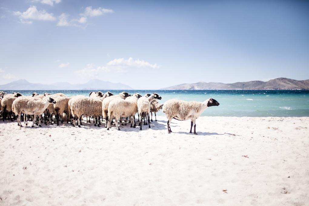 The sheep by Adas Čižauskas