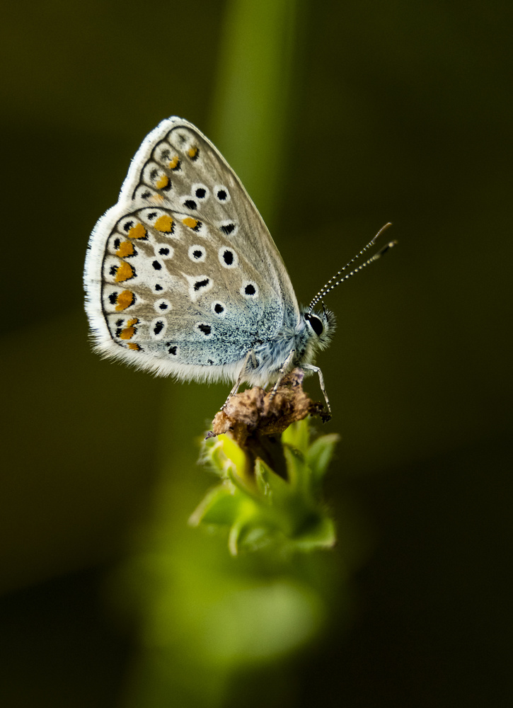 Common Blue Butterly by Oliver Clarke