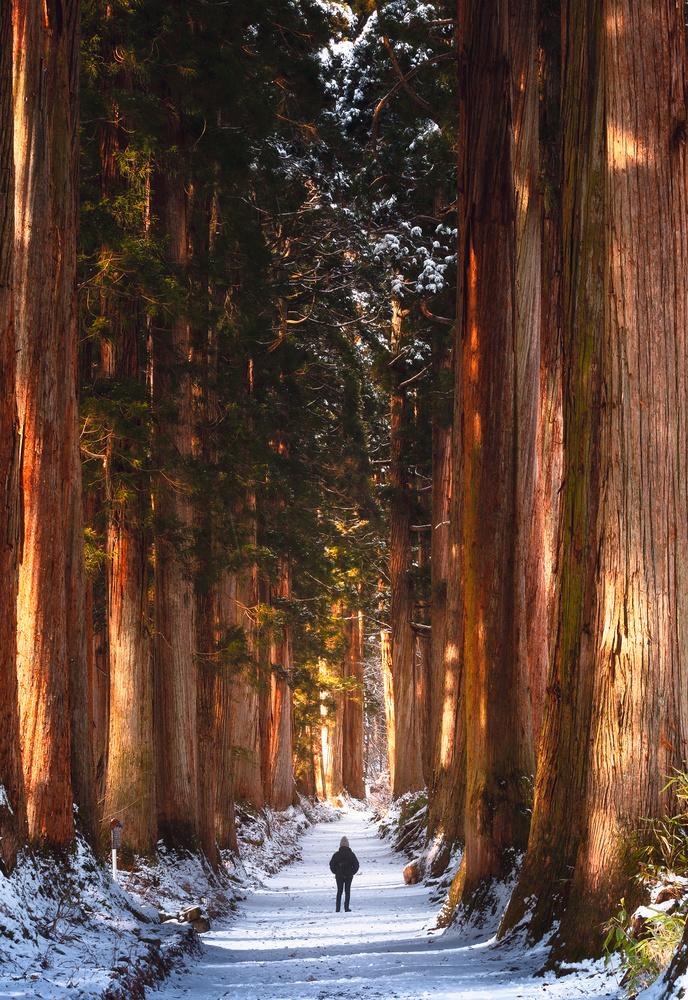 Golden Cedar Trees by Mik Og