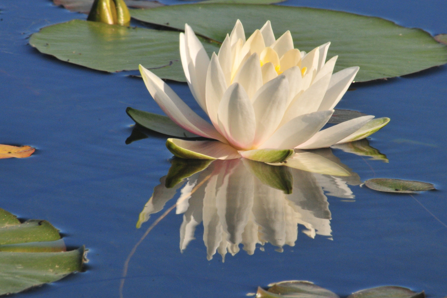 Water Lilly by Jay Smith
