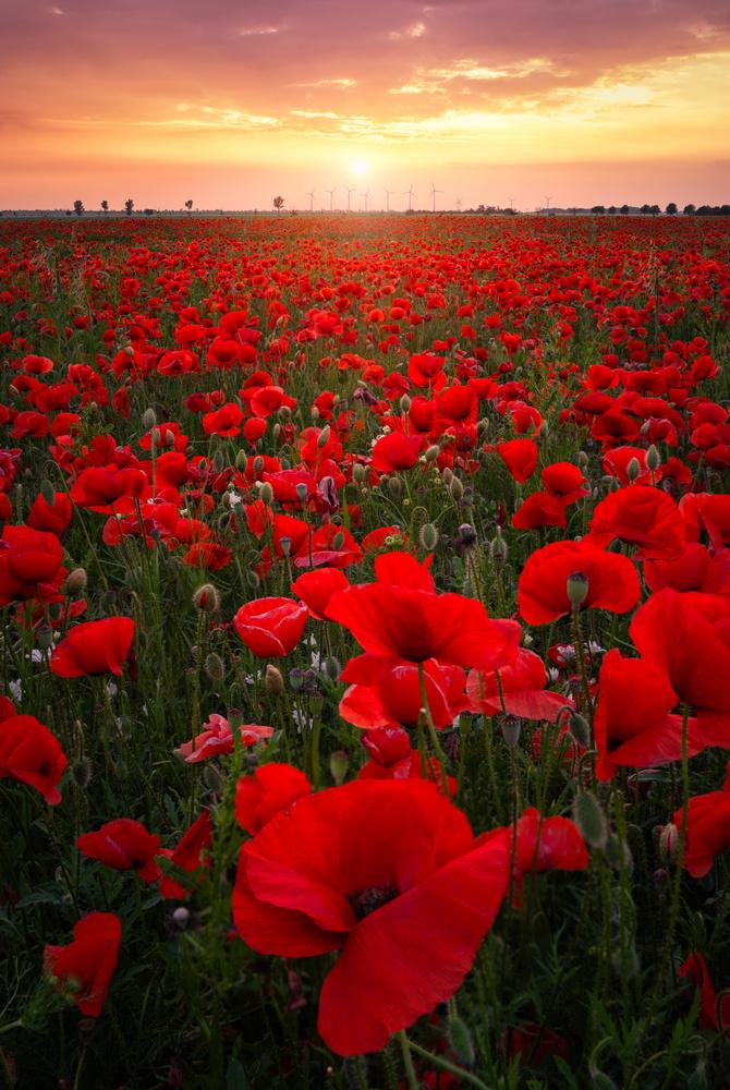 Poppy Field. by Lukas Petereit