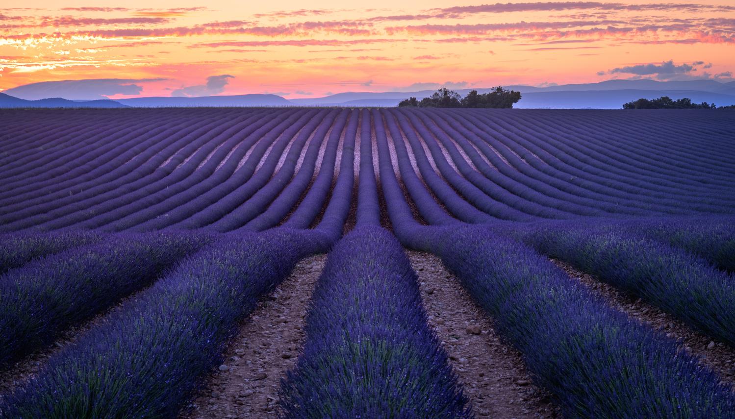 Lavender Field. by Lukas Petereit