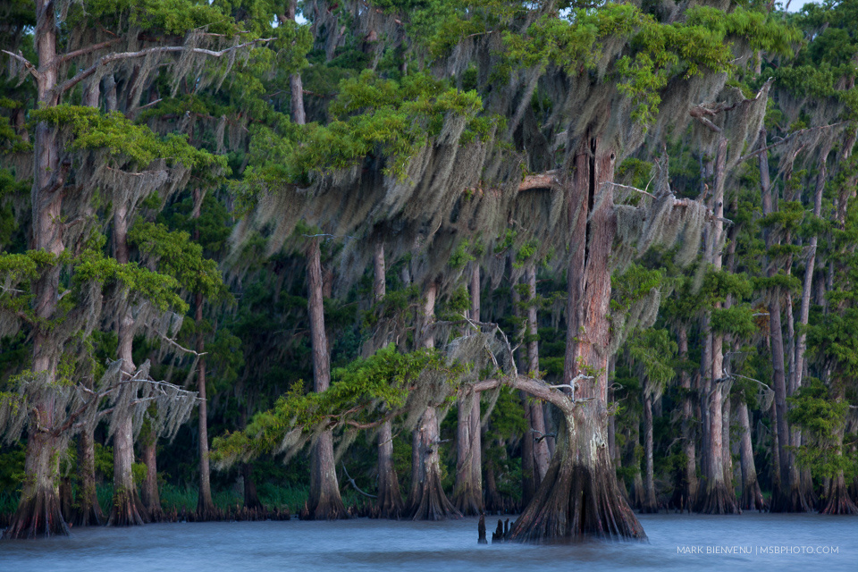 Cypress Swamp by Mark Bienvenu