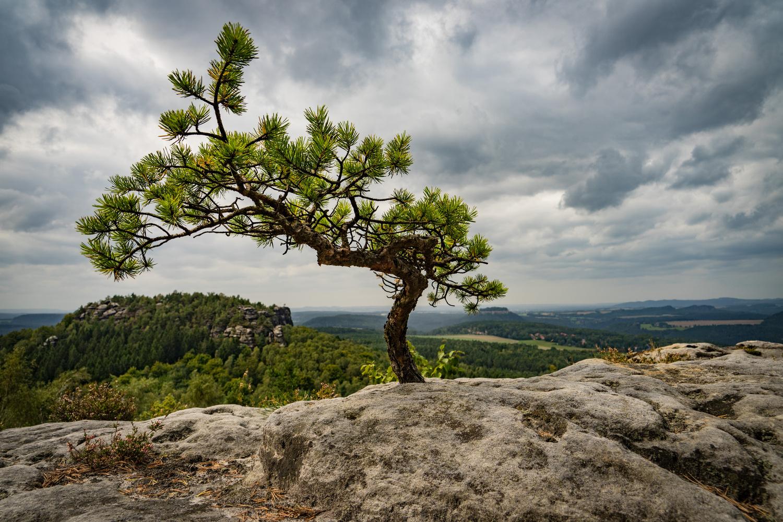 Little Pine by Sascha Pihan