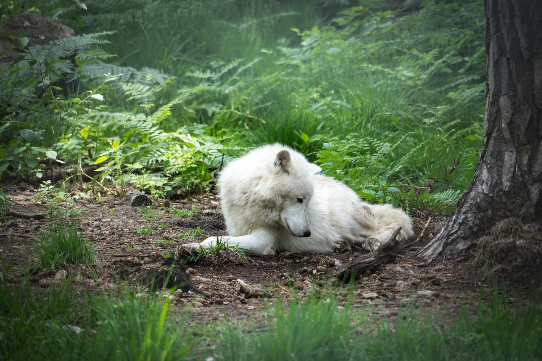 Arctic wolf by Sascha Pihan