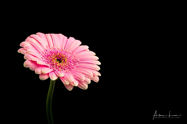 Flower 1 by Alec Lux