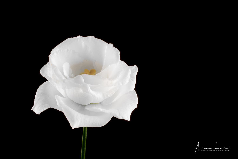 Flower 2 by Alec Lux