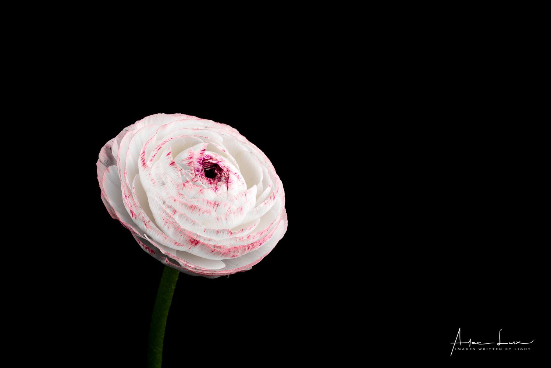 Flower 5 by Alec Lux