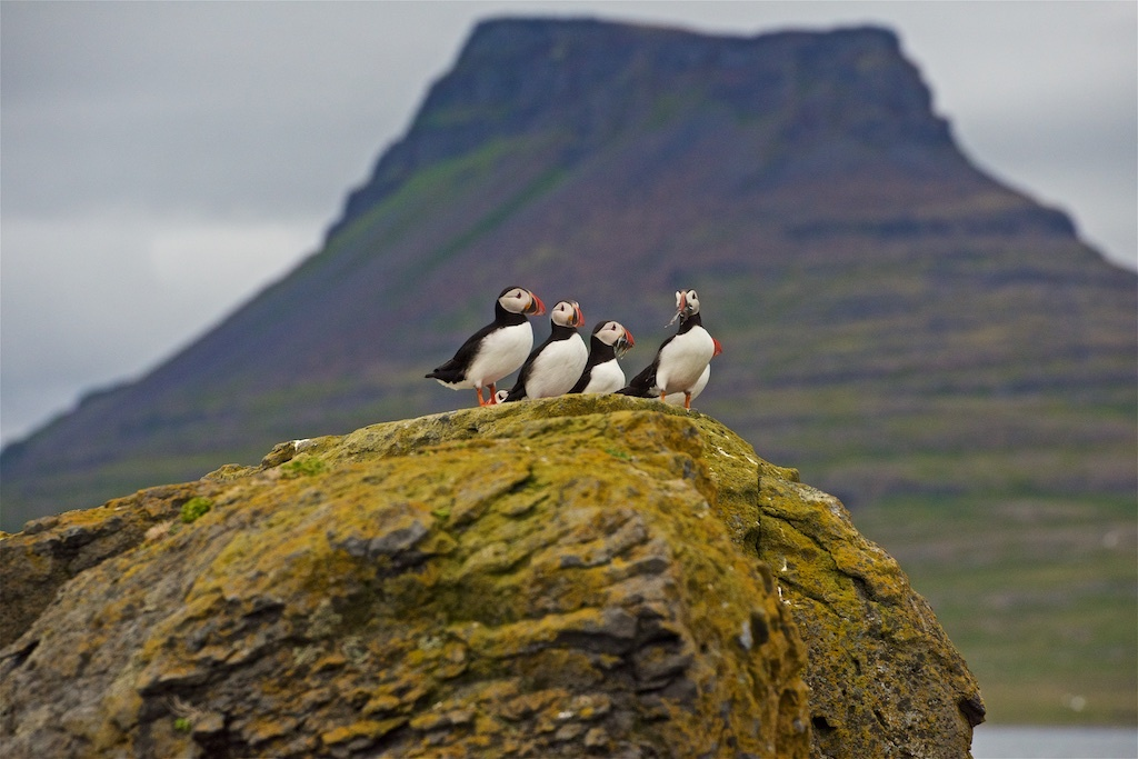 Puffin Rest Stop by Don Campbell