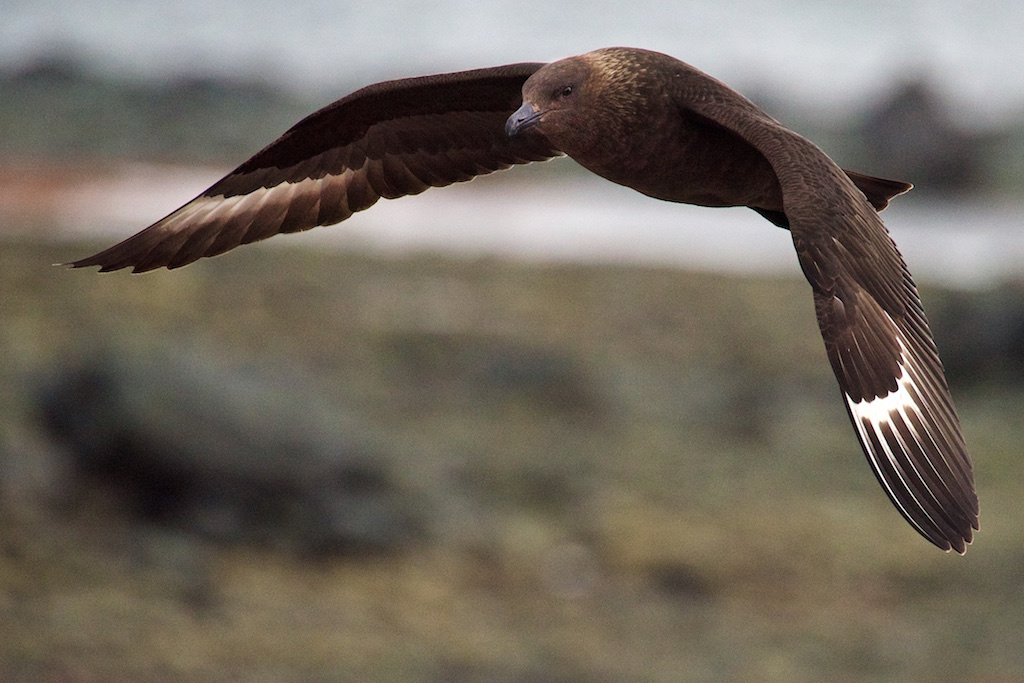 Great Skua by Don Campbell