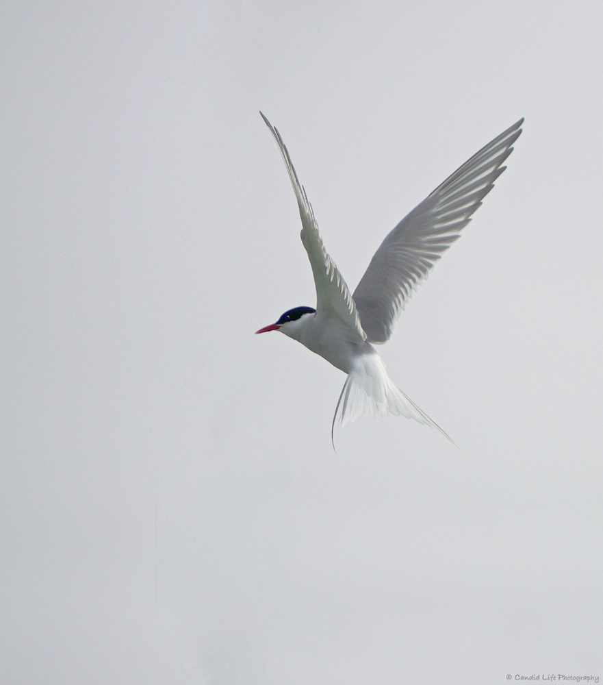Arctic Tern by Don Campbell