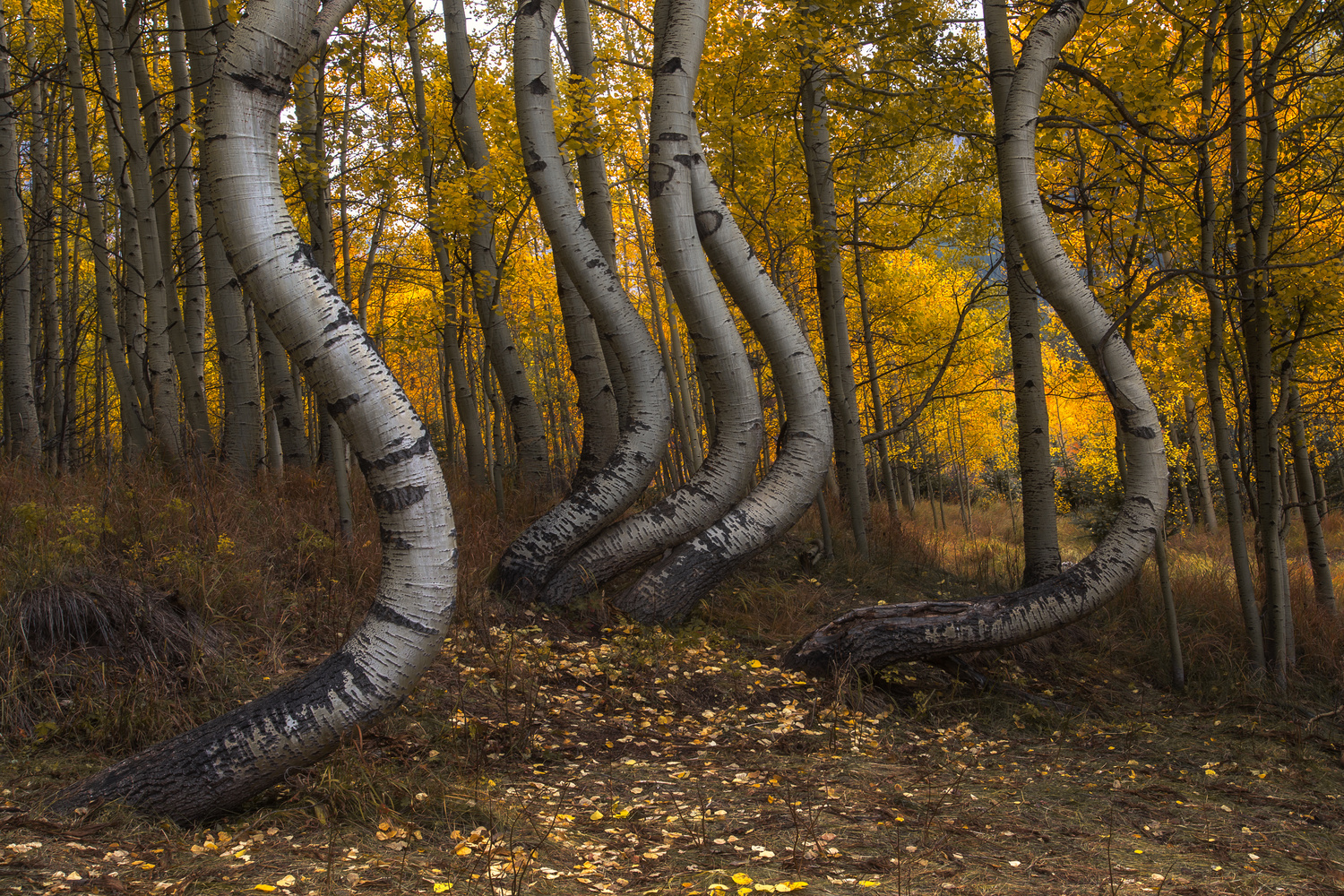 Curvy Aspen Forest by Nick Souvall