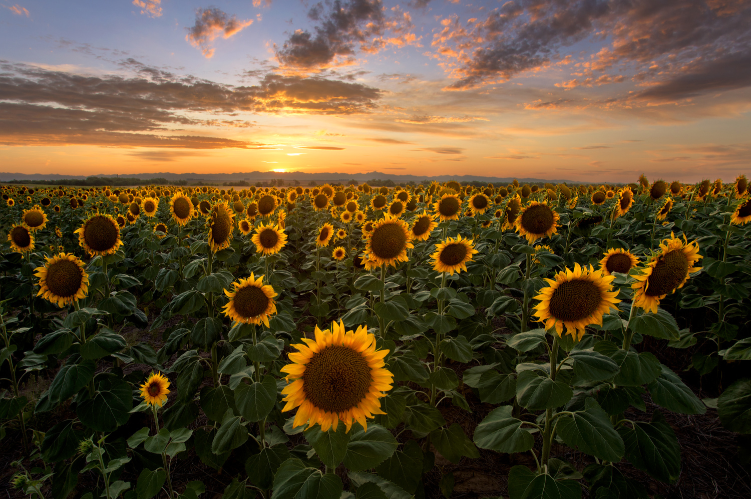 Summer Sunset at the Sunflower Field by Nick Souvall
