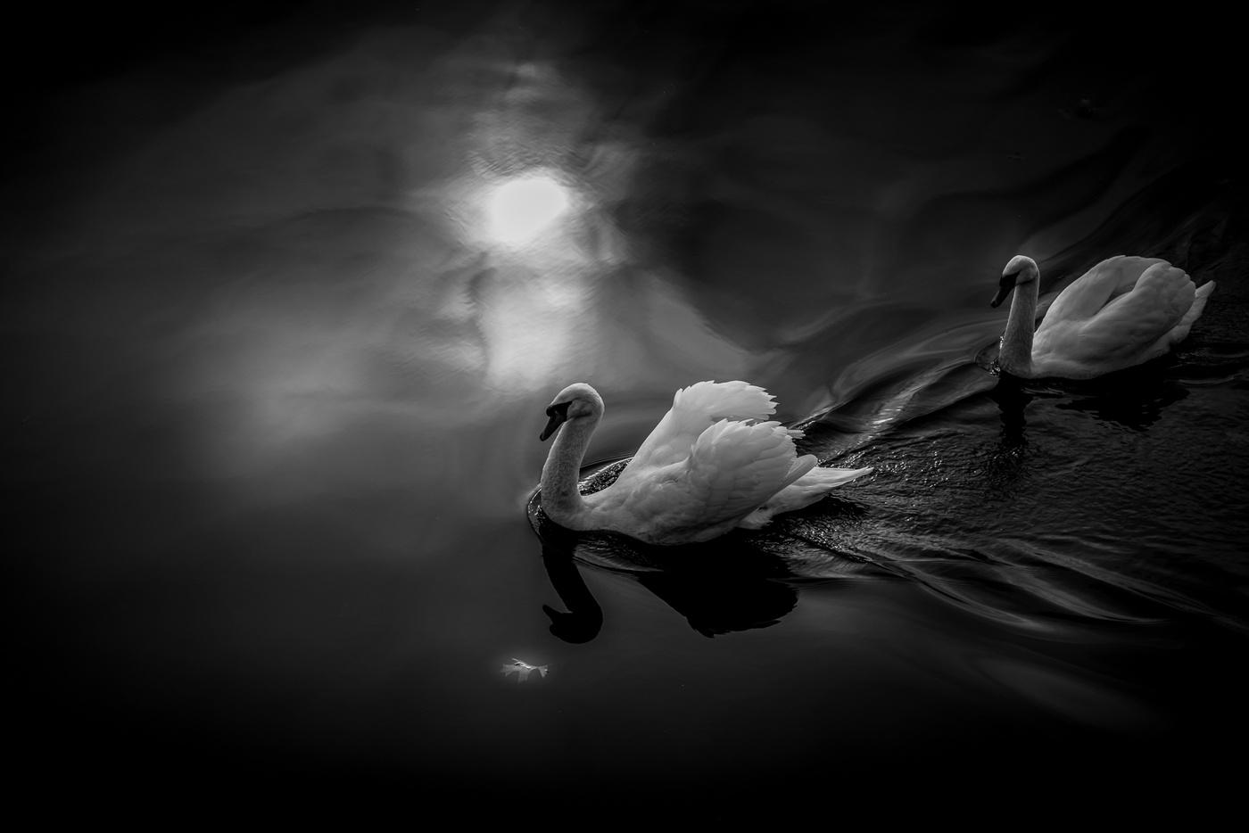 Swans in Moonlight by Eckhardt Kriel