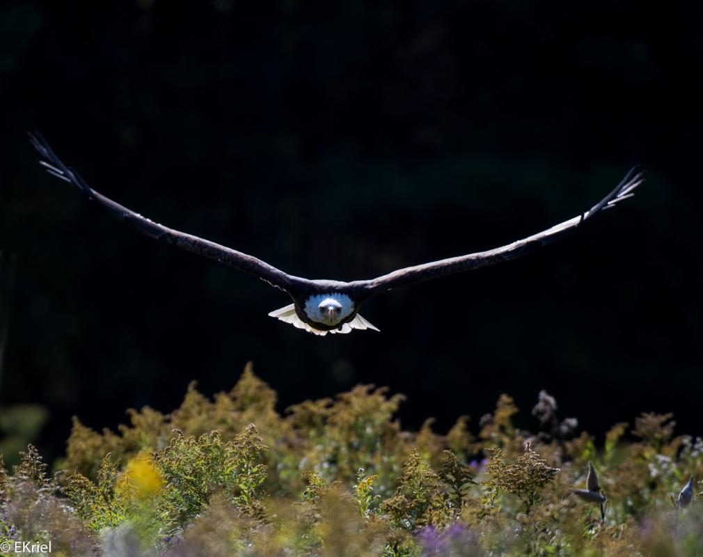 Incoming bald eagle by Eckhardt Kriel