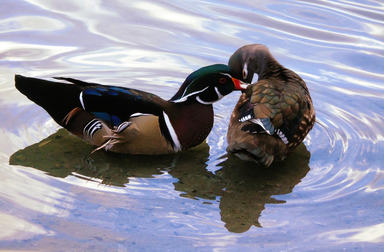 Love Ducks by Gail Jordan
