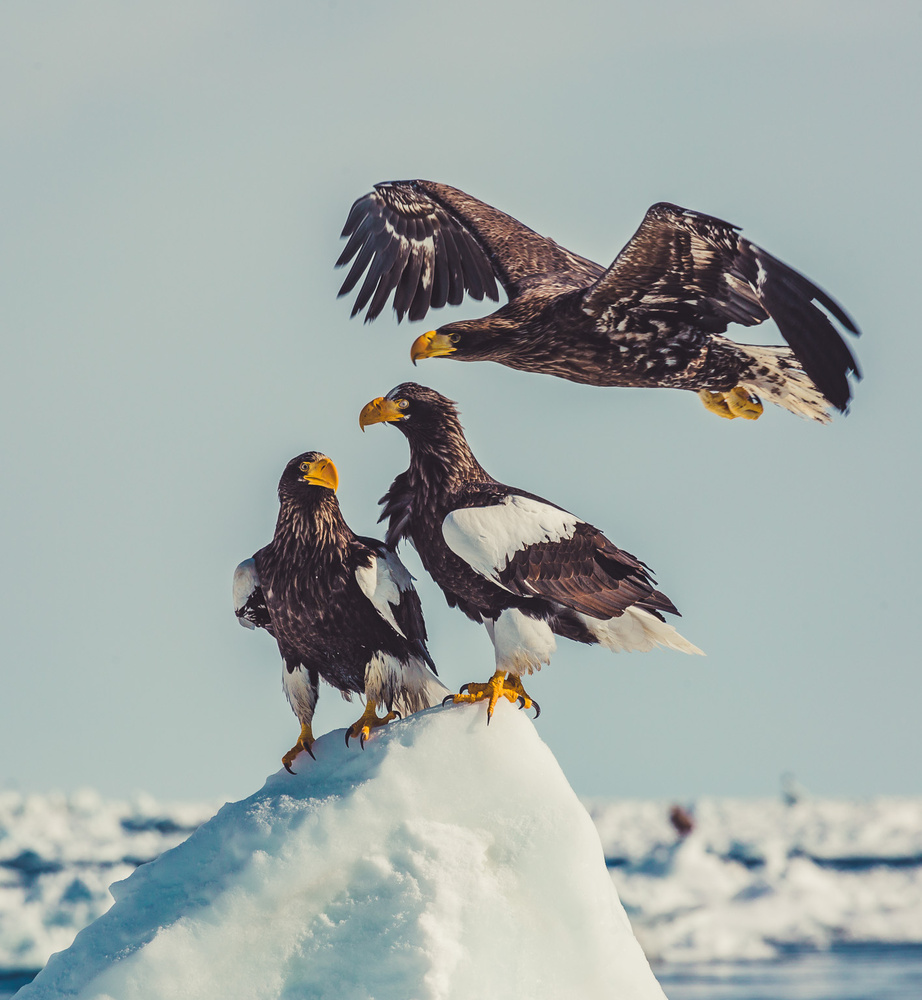 Steller Sea Eagles by Alfonso Calero