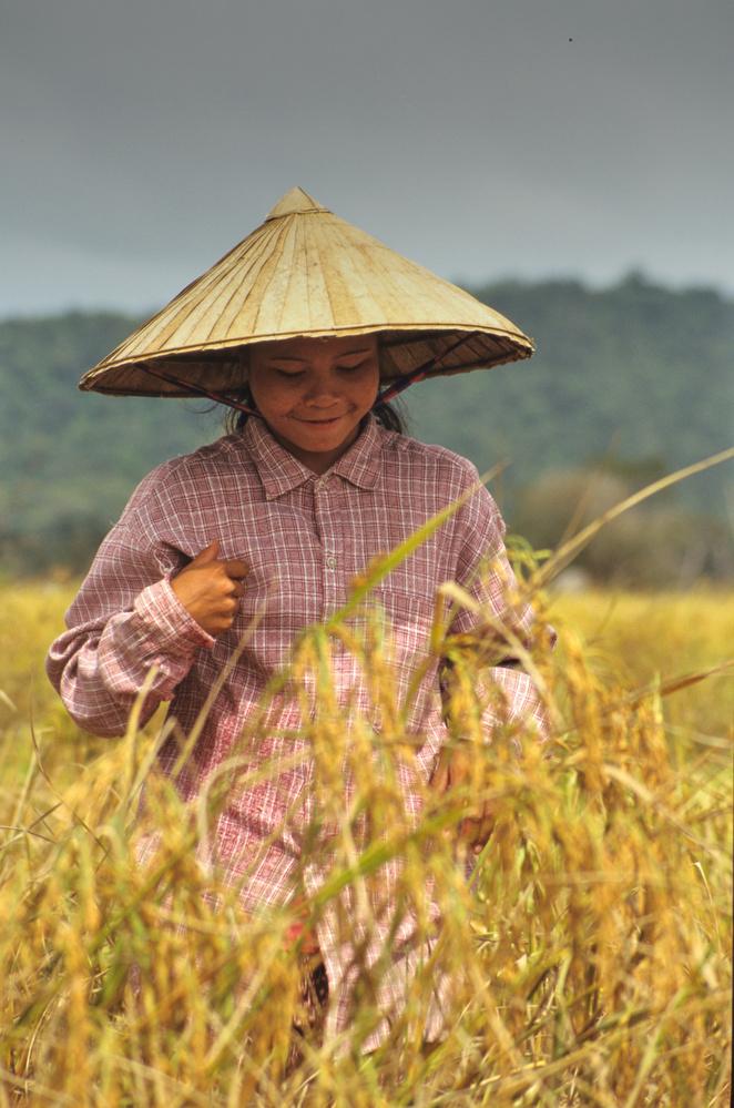 lao woman during rice crop by bruno Garenne-Alabadi