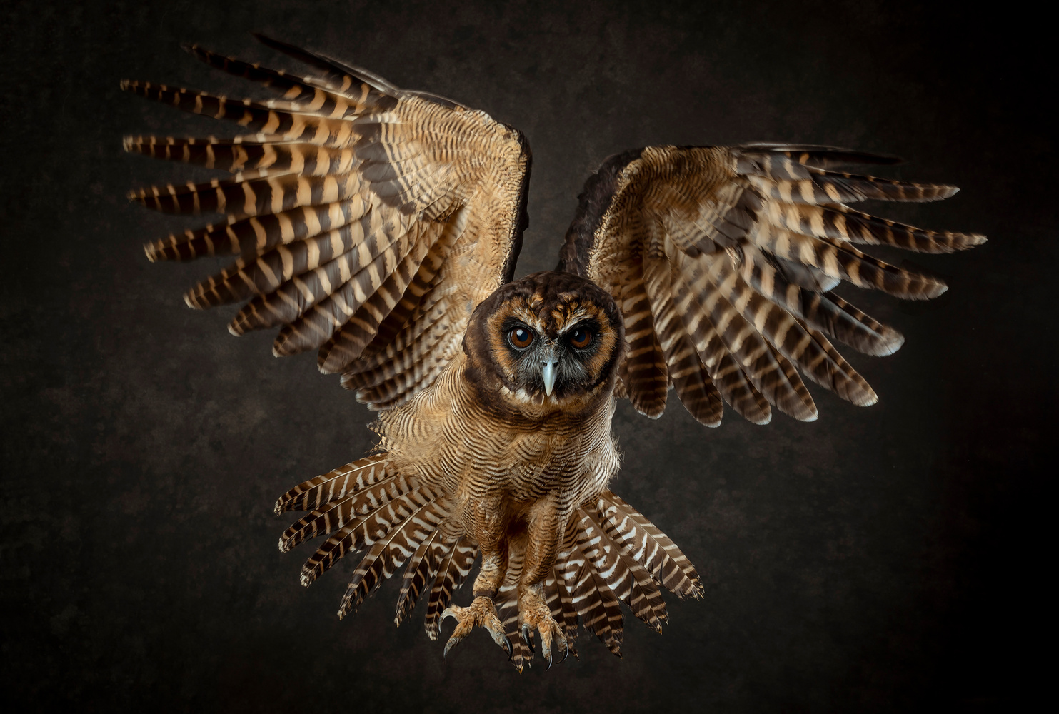 Owl in flight by Chris Doyle