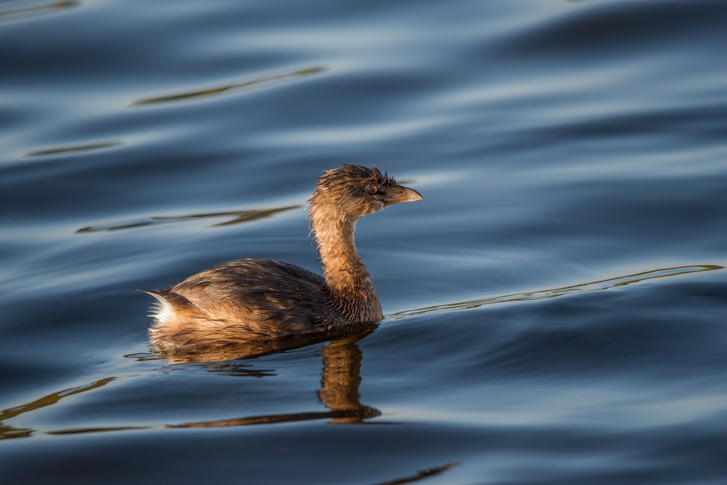 Pied-billed Grebe by Ira Rappaport