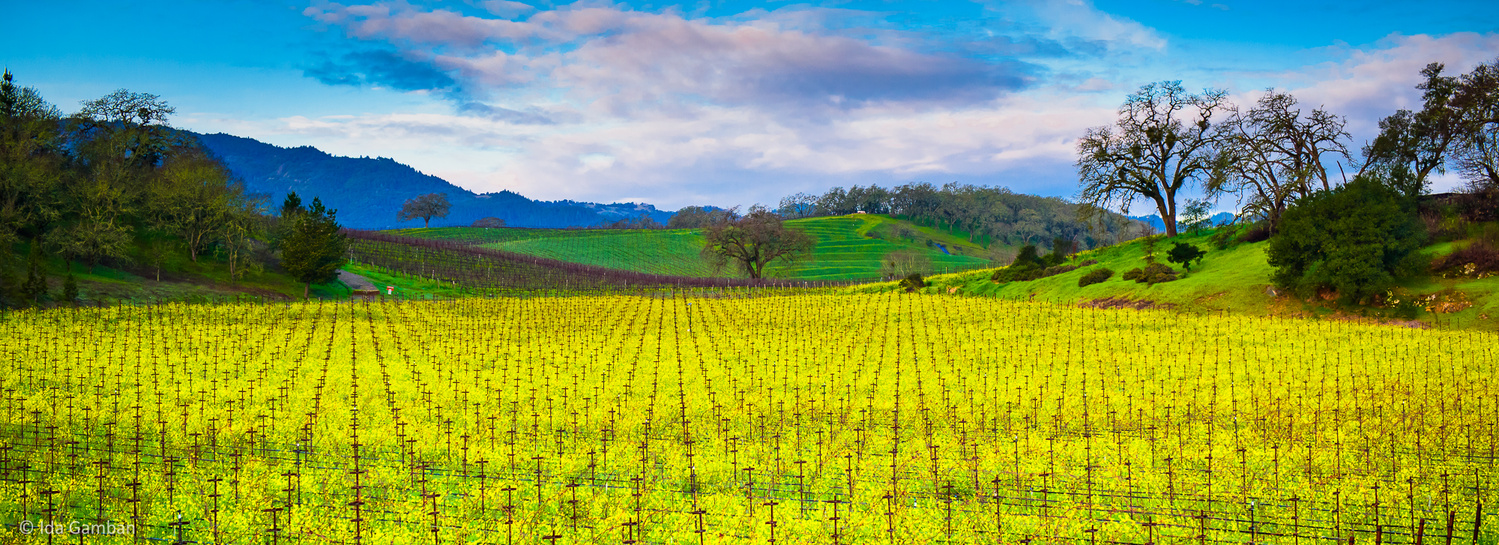 Rolling out the Carpet   Napa Valley, CA, USA by Ida Gamban