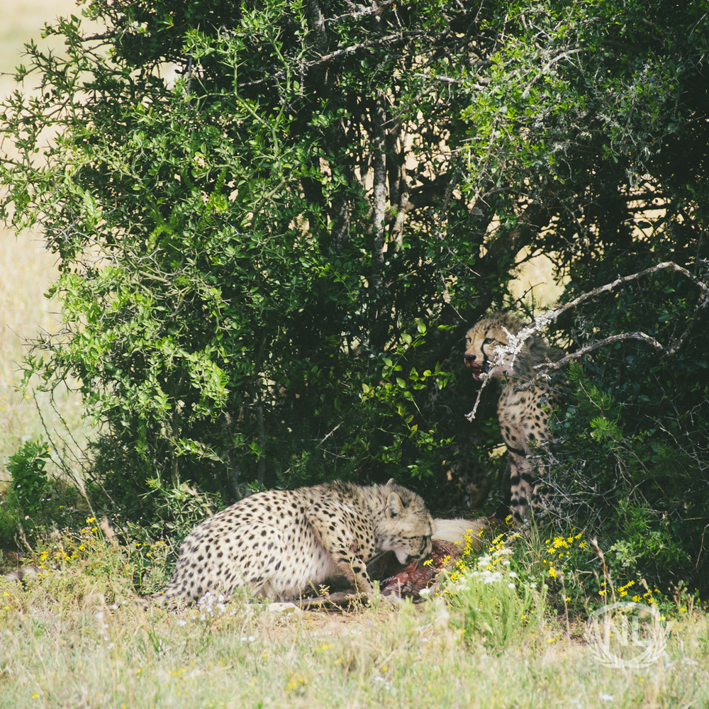 Cheetah Kill by Nathan Long