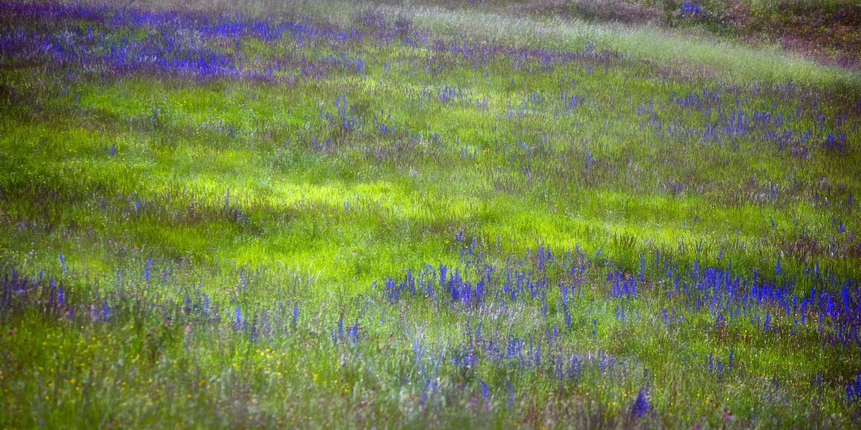 Lavender Fields by Susan Kessler