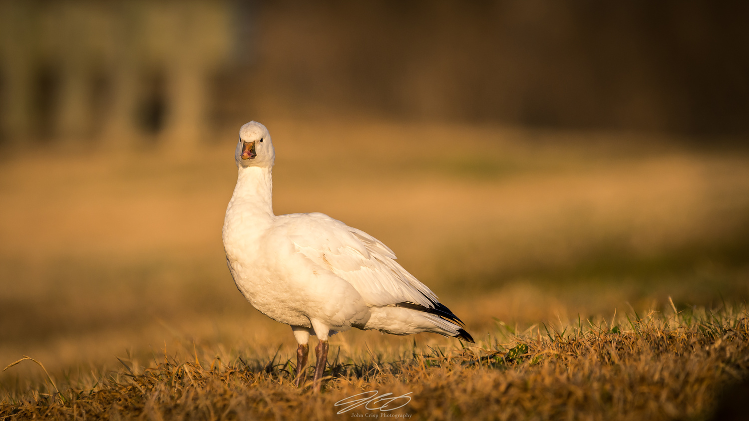 Texas Snow Goose by John Crisp