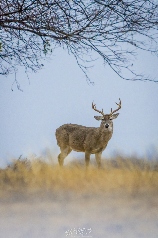 Big Texas Buck by John Crisp
