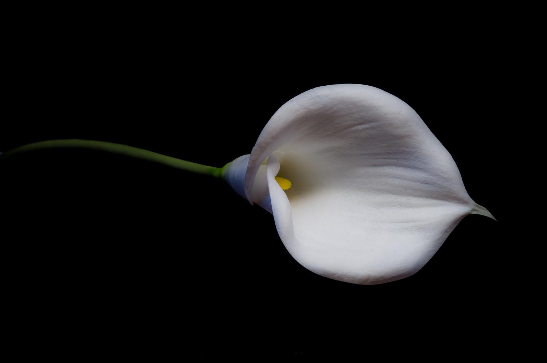 Dark Lily by John Crisp